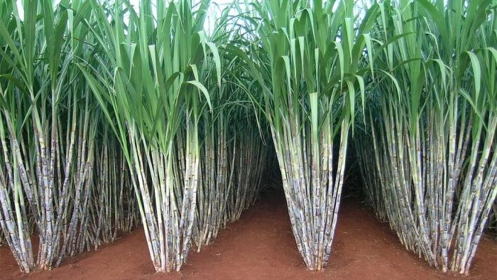 Top 10 Largest Sugarcane Producing Countries